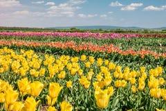 小组颜色郁金香在公园 免版税库存照片