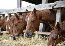 小组马吃从干草机架的干草 库存图片