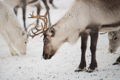 小组驯鹿在冬天 免版税图库摄影