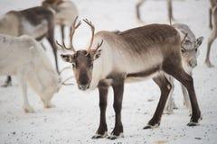 小组驯鹿在冬天 库存照片