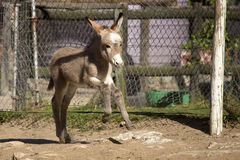 小驴驹 库存图片