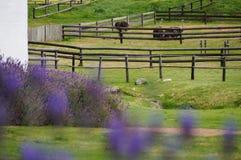 小组驼鸟在开普敦,南非 免版税库存照片
