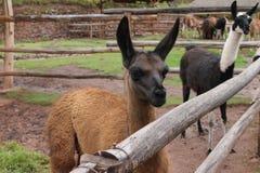 小组骆马在秘鲁 图库摄影