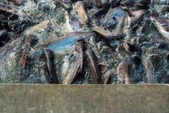小组鱼在河 库存图片