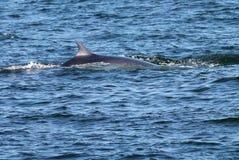 小须鲸表面化 图库摄影