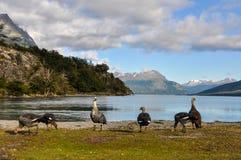小组鸟, Lago Roca,火地群岛国家公园,乌斯怀亚,阿根廷 库存照片