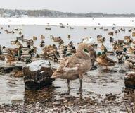 小组鸭子和天鹅 库存图片