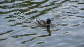 小组鸭子在河游泳 晴朗明亮的日 股票视频
