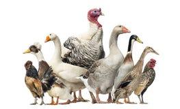小组鸭子,鹅和鸡,被隔绝 免版税库存照片