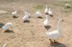 小组鸭子 免版税库存图片