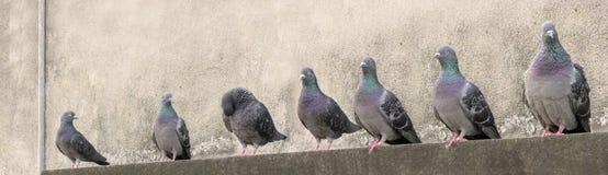 小组鸽子开会 库存图片