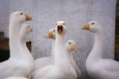 小组鹅在仓库广场 图库摄影