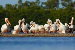 小组鹈鹕在石海岛在海 白色鹈鹕, Pelecanus erythrorhynchos,鸟在黑暗的水中,自然栖所, Flo 免版税库存照片