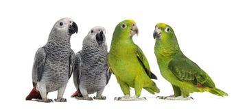小组鹦鹉 免版税库存照片