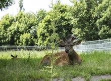 小组鹿在动物园里 库存图片