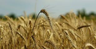 小黑麦的耳朵在培养的领域背景的  免版税库存图片