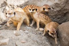 小组meerkat 免版税库存照片