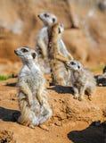 小组meerkats 库存图片