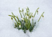 小组snowdrop开花与纯净的白色雪 免版税库存照片