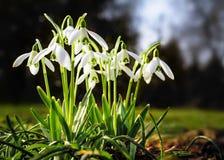 小组snowdrops在春天 免版税库存照片