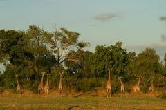 小组Thornycroft长颈鹿在Luangwa 免版税库存照片