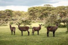 小组Waterbuck在非洲 免版税库存照片