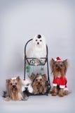 小组Yorkie四条狗和马尔他 库存照片