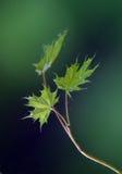 小2片叶子的槭树 免版税库存照片