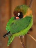 小agapornis绿色爱情鸟的鹦鹉 免版税库存照片