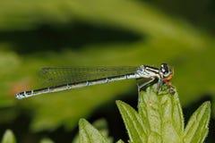 小bluetail (Ischnura pumilio) 免版税库存图片