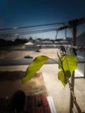 小Bodhi树在城市 免版税库存照片