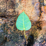 小bodhi树 免版税库存照片