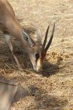 小Dorcas瞪羚在动物园里 库存图片