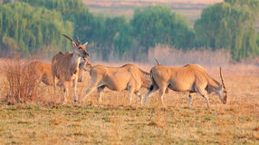 小eland的牧群 图库摄影