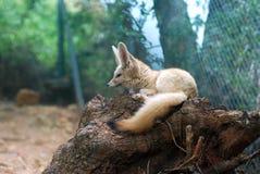 小fennec的狐狸 免版税库存图片