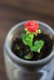 小kalanchoe homeplant在一个透明罐 红色Kalanchoe花 免版税库存照片