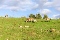 小Przewalski的野马马驹在高地野生生物徒步旅行队公园,苏格兰跟随一个吃草的母亲 库存图片