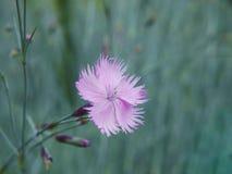 少女桃红色一朵精制的花的特写镜头在被弄脏的背景的 库存照片