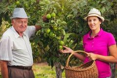 少妇帮助一个老人在果树园,摘苹果 免版税库存图片