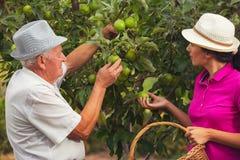 少妇帮助一个老人在果树园,摘苹果 免版税库存照片