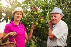少妇帮助一个老人在果树园,摘苹果 库存照片