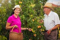 少妇帮助一个更老的人在果树园,采摘梨 免版税库存照片