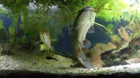 少年入侵的淡水食肉动物的鱼水渠鲶鱼,Ictalurus punctatus在被种植的鱼缸,泥泞的水耐心地游泳 股票录像