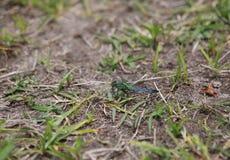 少年公蓝色Dasher蜻蜓 图库摄影