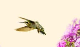 少年公蜂鸟。 图库摄影