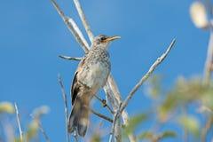 少年加拉帕戈斯模仿鸟, Mimus parvulus,在圣克鲁斯是 库存照片