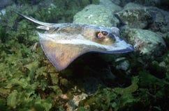 少年南部的黄貂鱼 库存图片