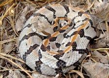 少年响尾蛇木材 免版税库存图片