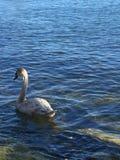 少年天鹅在安大略湖 免版税库存图片