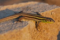 少年巴尔干绿蜥蜴蝎虎座trilineata是蜥蜴的种类在蜥蜴科家庭的在日落 库存图片